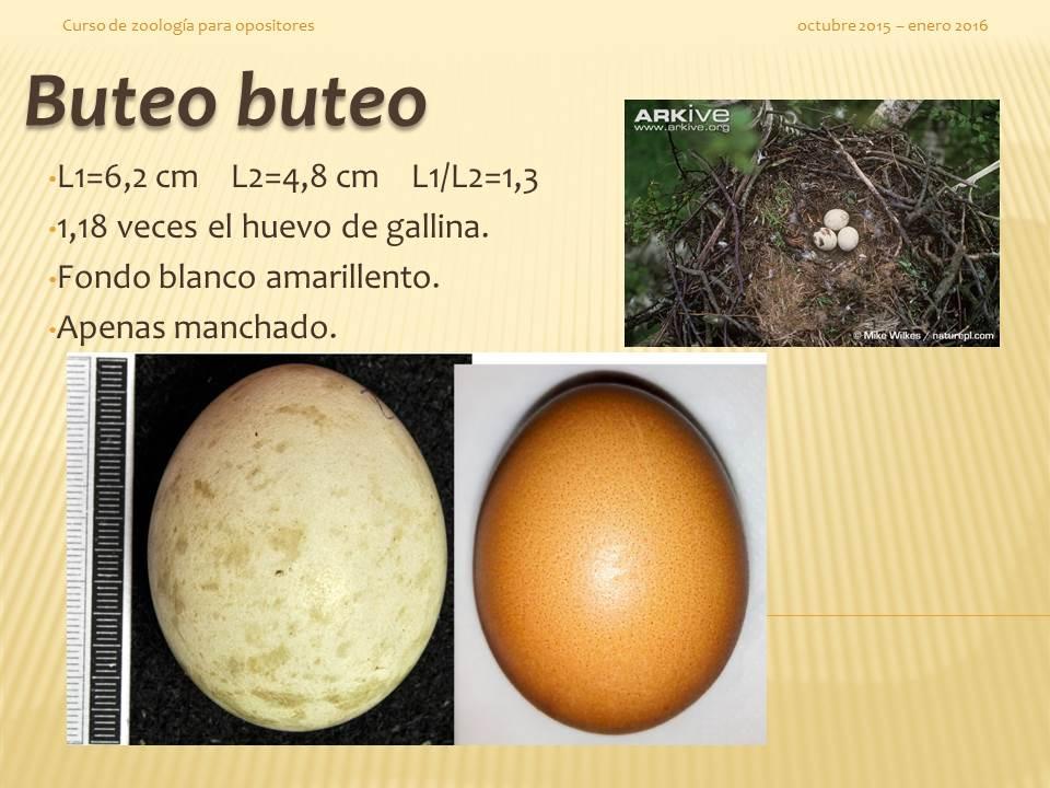 Buteo buteo