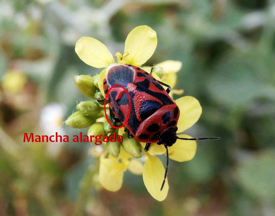 Eurydema ornata (Autor: Adela Ortíz Álvarez)