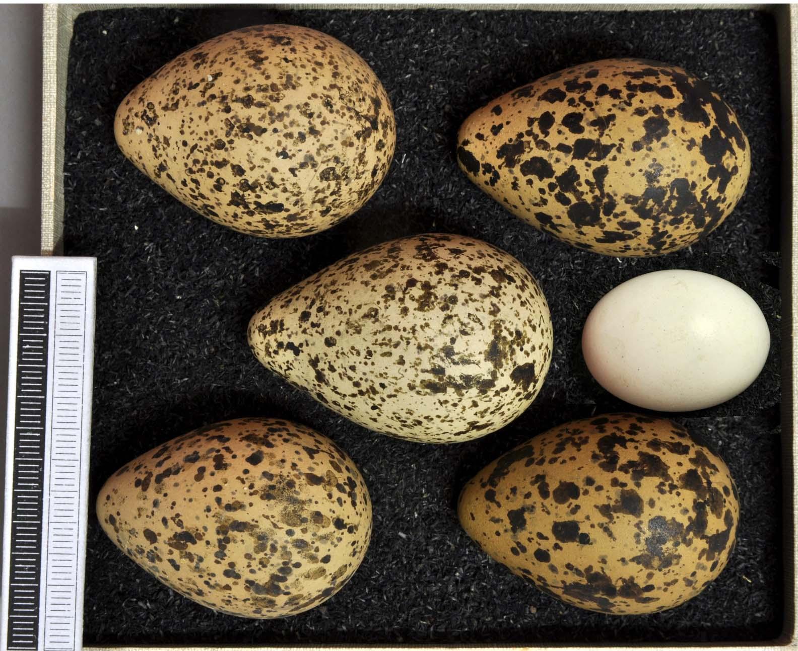 Vanellus vanellus (huevos asimétricos, amarillos y manchados). Streptopelia turtur (huevos simétricos, blancos y sin manchas)