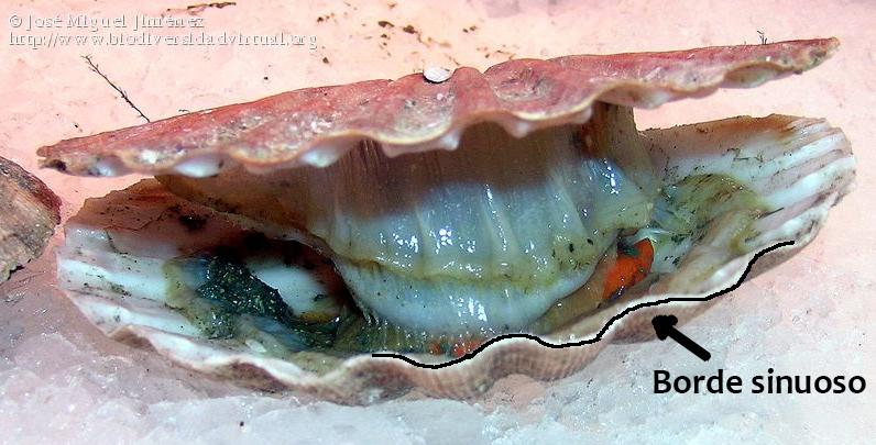 Pecten maximus mostrando su característico borde sinuoso en la valva convexa (Autor: José Miguel Jiménez)